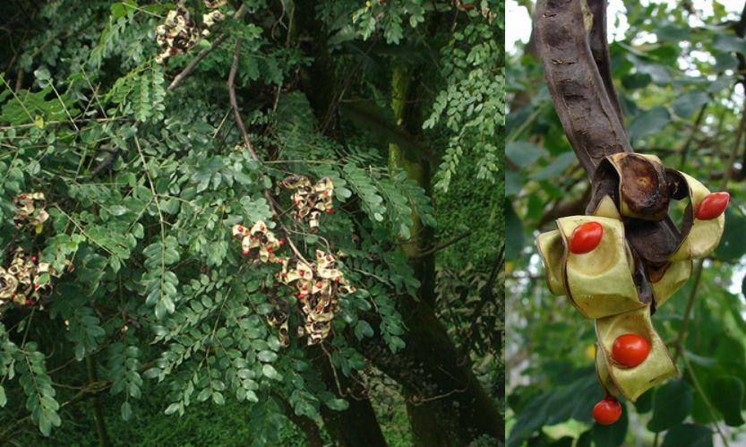 ประโยชน์และสรรพคุณของ มะกล่ำต้น