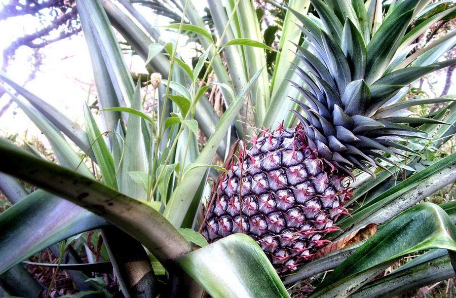 ประโยชน์และสรรพคุณของ สับปะรด