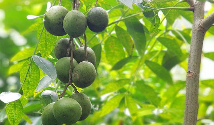 ประโยชน์และสรรพคุณของ มะกอกน้ำ